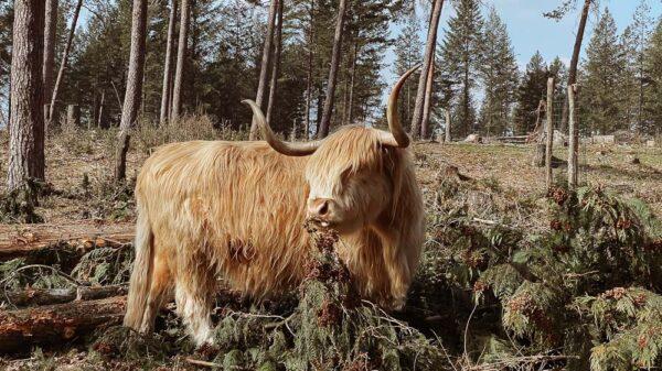 Schottische Weiderind Wistinghauser Senne