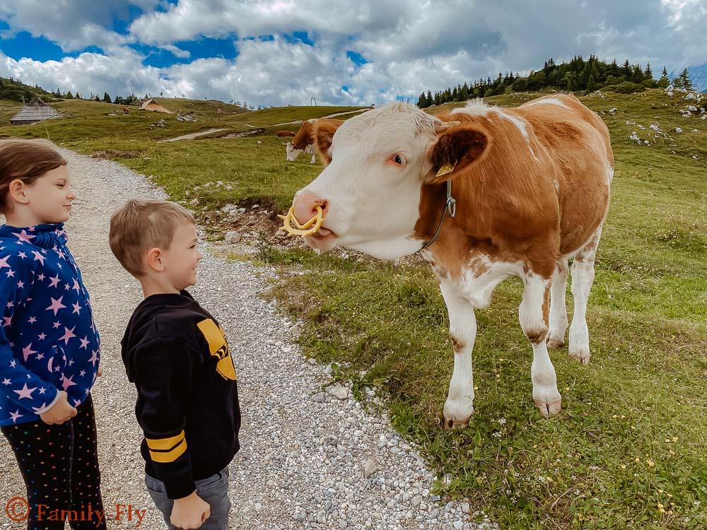 Kühe Alm Slowenien